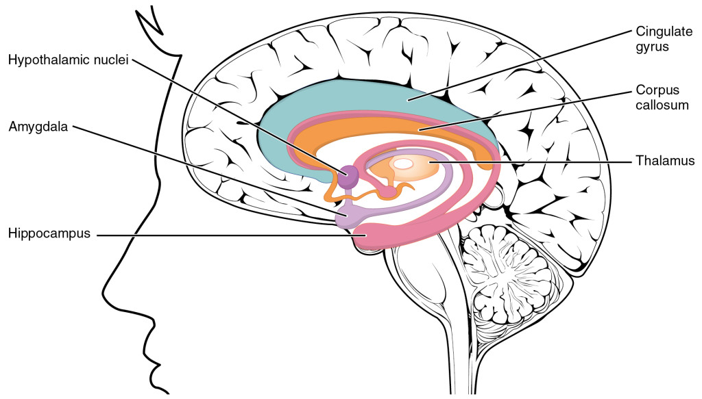 the limbic system and religion